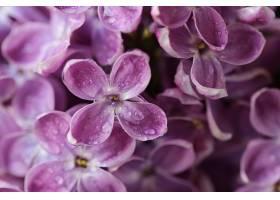 水珠与粉紫色的花
