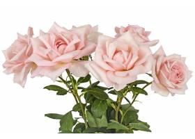 粉色月季花切花