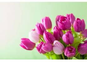 粉色与紫色郁金香