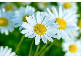 唯美的白晶菊
