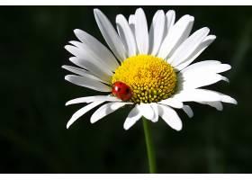 瓢虫与白晶菊