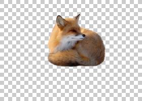 红狐狸,狐狸PNG剪贴画哺乳动物,动物,食肉动物,狗像哺乳动物,动物