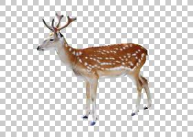 白尾鹿鹿红鹿驯鹿麋鹿,鹿PNG剪贴画哺乳动物,动物,动物群,野生动图片