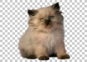 波斯猫布娃娃孟加拉猫小猫,小猫的PNG剪贴画猫像哺乳动物,食肉动
