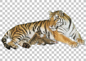 老虎野生动物猫,老虎PNG剪贴画哺乳动物,动物,猫像哺乳动物,食肉