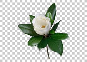 花海滩玫瑰红,美丽的白玫瑰PNG剪贴画蓝色,白色,黑色白色,人造花,