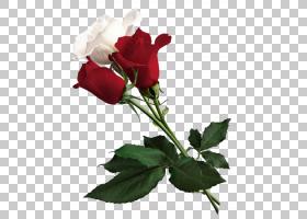 约克白玫瑰花红色白色玫瑰约克,白色和红色玫瑰,红色和白色玫瑰PN