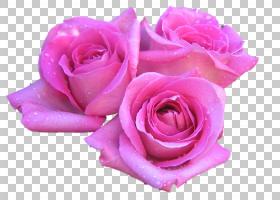 玫瑰花粉红色1080p高清电视,线描鲜花吊牌花PNG剪贴画floribunda,