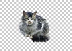 挪威森林猫胡须,看着猫PNG剪贴画哺乳动物,画,动物,猫像哺乳动物,