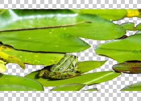 Frog Lithobates clamitans两栖蟾蜍,青蛙PNG剪贴画动物,叶子,动