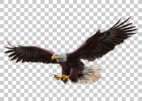 秃头鹰图,老鹰,秃头鹰PNG剪贴画动物,颜色,动物群,生日快乐矢量图