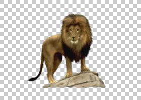 狮子,O猫,卡通狮子PNG剪贴画卡通人物,哺乳动物,画,动物,猫像哺乳图片