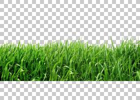 草坪,草,绿草PNG剪贴画摄影,电脑壁纸,封装的PostScript,桌面壁纸