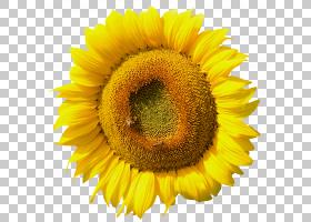 常见的向日葵向日葵种子花粉雏菊家庭,向日葵PNG剪贴画向日葵,向