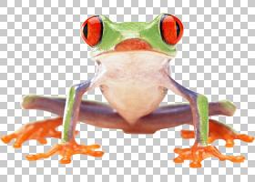 红眼树蛙,青蛙PNG剪贴画图像文件格式,动物,封装PostScript,树蛙,图片