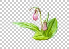 花卉水彩画粉红色,莲花PNG剪贴画紫色,颜色,植物茎,金莲花,卡通,