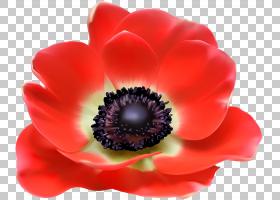 艺术,设计PNG剪贴画摄影,花卉,免版税,小册子,3花红,罂粟家庭,罂