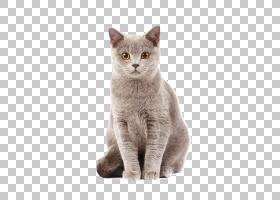 英国短毛猫泰国猫小猫猫食狗,猫物理地图PNG剪贴画哺乳动物,猫像