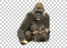 大猩猩动物猿Harambe拥抱大猩猩PNG剪贴画哺乳动物,动物,野生动物图片