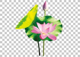 中国莲花nucifera莲花效果,莲花PNG剪贴画水彩画,草本植物,叶,人