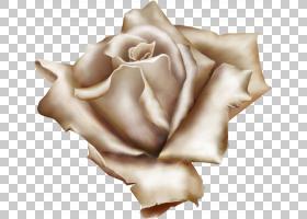 南方字母复古玫瑰的古董玫瑰,家庭和花园的美丽品种,白玫瑰PNG剪