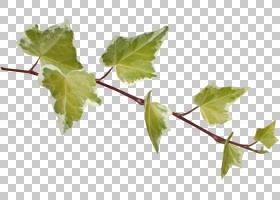 叶摄影,叶PNG剪贴画食品,分支,蒙太奇,植物茎,树枝,葡萄家庭,常春