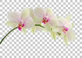 兰花桌面显示分辨率手机手机兰花PNG剪贴画杂项,其他,花卉,粉色,