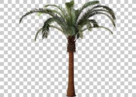 槟榔枣棕榈植物树Attalea speciosa凤凰棕榈树插图PNG剪贴画棕榈