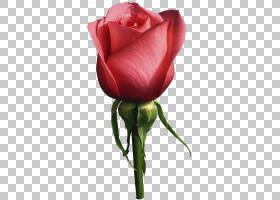 静物,粉红玫瑰摄影,白玫瑰PNG剪贴画白色,floribunda,颜色,植物茎