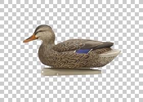 野鸭鸭诱饵鹅,鸭PNG剪贴画动物,飞行,鸟,野鸭,水禽狩猎,anserifor