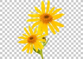 山山金车精油霜护肤疗法,piller,两个黄色花瓣PNG剪贴画杂项,其他图片