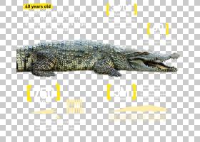 鳄鱼迪拜购物中心迪拜水族馆和水下动物园尼罗河鳄鱼,商场促销PNG