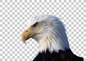 白头鹰高清视频显示分辨率海头PNG剪贴画白色,摄影,动物区系,狮子图片