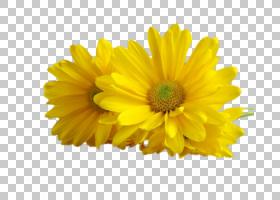 摄影动画非洲菊PNG剪贴画爱情,摄影,向日葵,向日葵种子,年生植物,图片
