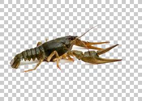 蜜蜂动画,害虫,昆虫,海鲜,十足,蜂蜜,美国龙虾,巴布亚新几内亚经