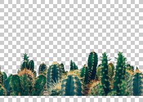 绿草背景,植被,仙人掌,针叶树,松树,树,生态系统,松科,草,植物,生