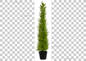家谱背景,柏树族,紫杉家族,百加红豆杉,草,松科,针叶树,植物,红豆