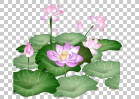 族的图形,草本植物,一年生植物,神圣莲花,莲花族,水生植物,Protea