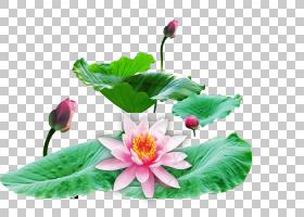 绿叶背景,莲花族,花,植物,家庭,莲子,草本植物,一年生植物,叶,花