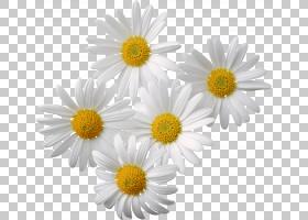 家庭卡通,牛眼雏菊,黛西,雏菊家庭,紫菀,玛格丽特黛西,Chamaemelu图片