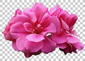 粉红色花卡通,草本植物,一年生植物,粉红色家庭,洋红色,Geraniale