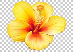 粉红色花卡通,草本植物,梅洛家族,橙色,种子植物,芙蓉,花瓣,植物,