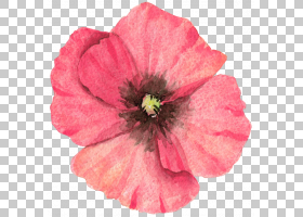 水彩花环背景,草本植物,一年生植物,洋红色,切花,罂粟家族,梅洛家