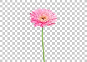 花卉剪贴画背景,非洲菊,洋红色,大丽花,植物茎,切花,植物群,一年