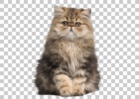 宠物猫猫科英国短毛猫动物免扣素材图片