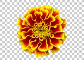 背景家庭日,花瓣,黄色,万寿菊,雏菊家庭,种子,普通向日葵,死亡之