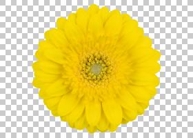 粉红色花卡通,非洲菊,黛西,雏菊家庭,花瓣,向日葵,花粉,红紫色,植