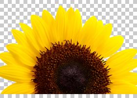 天空卡通,种子,星形目,天空,向日葵,花蜜,关门,花粉,花瓣,Auglis,