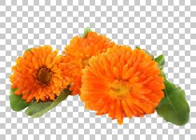 花卉剪贴画背景,非洲菊,一年生植物,橙色,切花,花卉设计,金盏花,