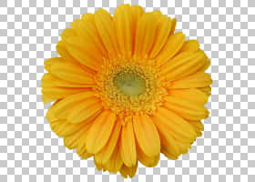 花卉剪贴画背景,非洲菊,一年生植物,橙色,切花,金盏花,雏菊家庭,